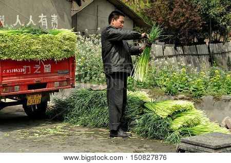 Pengzhou China - March 26 2010: Farmer bundling freshly harvested garlic greens for transport to local markets