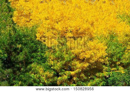 Yellow and green leaves - contrast in autumn day