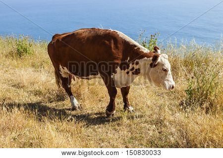 cow grazing at the meadow on the cliffs of the shoreline at the pacific ocean