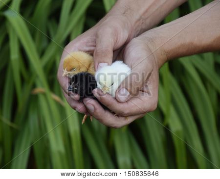 Chicken In Hand. The Small Newborn Chicks In The Hands Of Man