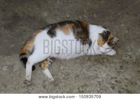 Pregnant Cat Resting. Calico Cat With A Big Belly Lying On The Concrete