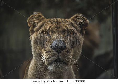 Big Cat Elder Face to Face Eye to Eye