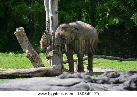 Young Asian Elephant Eat Food