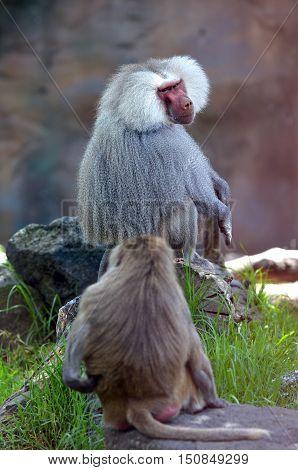 Two Hamadryas Baboons