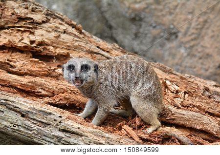 Meerkat Walks On Rocks