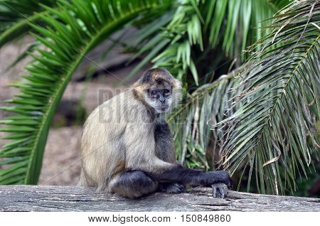 Spider Monkey Sit On A Tree Log