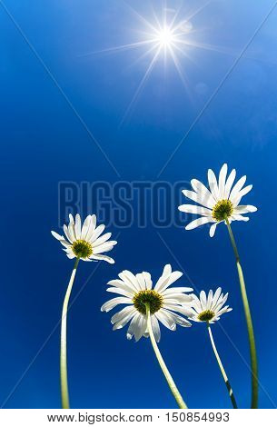 Upward view of white daisy flowers (camomile) against bright blue sunny sky. Copy space.