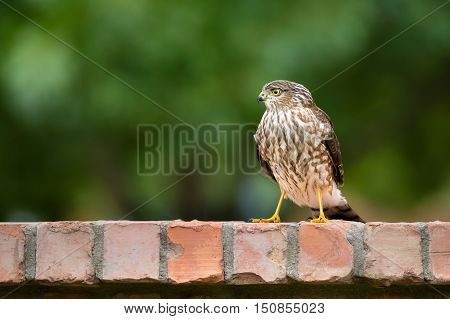 Immature Coopers Hawk standing on backyard brick fence. Natural green background with copy space.
