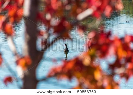 Black Swan On The Lake Surrounded By Autumn Leaves