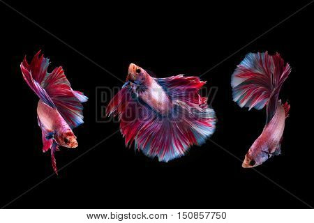 3 moment of beta siamese fighting fish