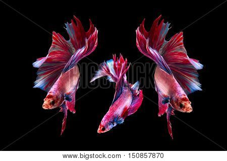 Colorful Beta Fighting Fish on black background