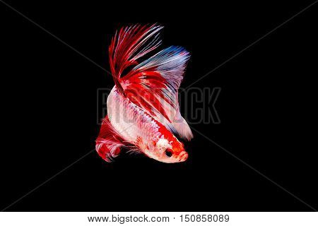 Siamese beta Fighting Fish on black  background