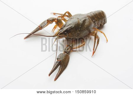 the Live crayfish on a white background