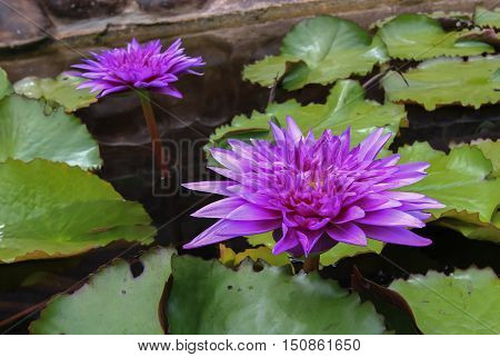 Purple lotus flower blooming on a pond and waterlilies around