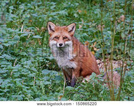 Red fox (Vulpes vulpes) resting in vegetation in its habitat
