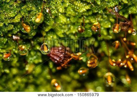 Colorful abstract natural background of wet green moss sphagnum and seeds of moss in drops of water from rain closeup