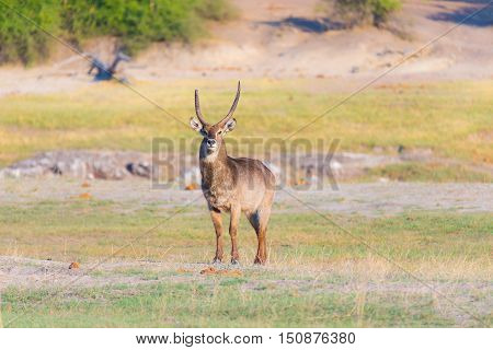 Male Waterbuck In The Bush Looking At Camera. Wildlife Safari In The Chobe National Park, Majestic T