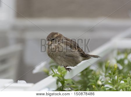 Sparrow with gray white brown and beige feathers sitting on the fence next to the flowers