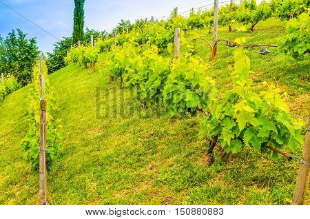 Hdr Vineyard Plants