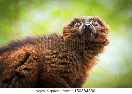 Portrait of adult male red-bellied lemur (Eulemur rubriventer)