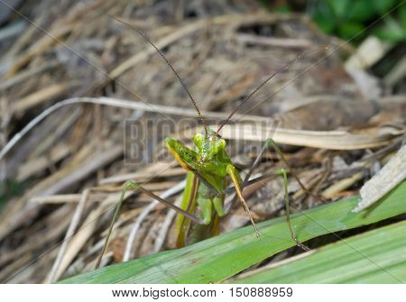 A close up of the mantis on grass.