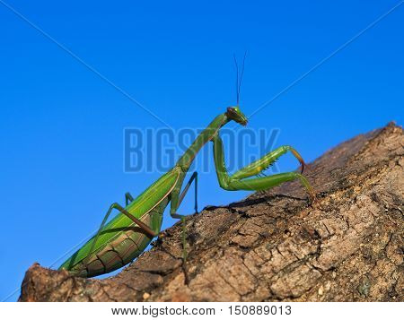 European or praying mantis (Mantis religiosa) hunting in a garden