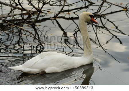 White swan swimming water landscape well-lit cloudy