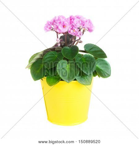 Pink Saintpaulia in a yellow flowerpot isolated on white background close up