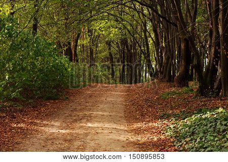 Path in the forest strewn with fallen leaves on the background of green trees