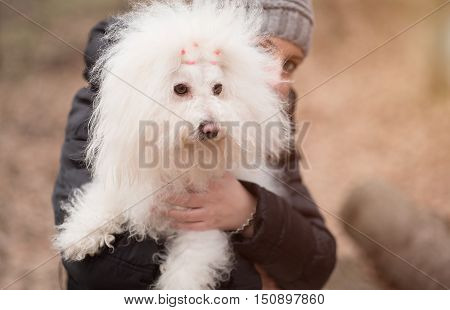 Woman holding her puppy Bichon Havanese .