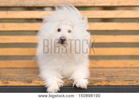 Bichon Havanese Dog On Banch