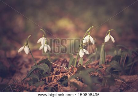 Vintage, Brown Toned Photo Of A Snowdrops