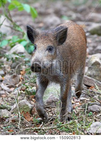 Juvenile wild boar walking in vegetation in its habitat