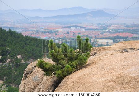 A small pine bush growing on a crevice of a rock on Laoshan (mount Lao) in Qingdao China with a blurred mountain background in Shandong province.