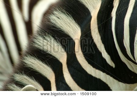 Zebra Neck
