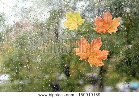 Maple leaves stuck to the window that gets wet from rain drops / warm look out the window for autumn
