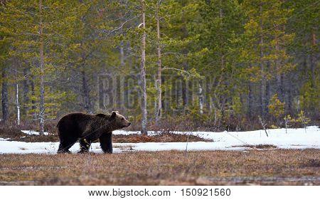 Wild brown bear walking in the taiga in late winter