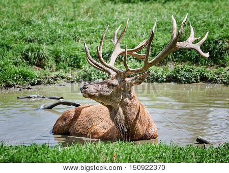 Beautiful deer takes a bath on a hot and sunny summer's day