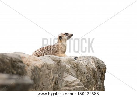 meerkat sitting on the rock isolated on white background