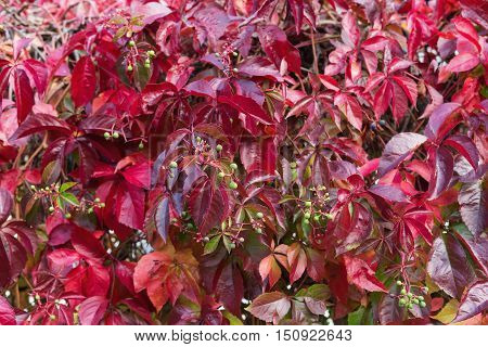 Virginia Creeper in autumn colors. Red leaves of decorative grapes on a wall fall. Autumn concept