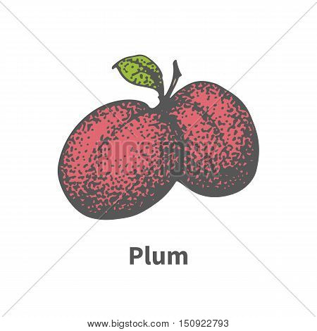 Vector illustration doodle sketch hand-drawn two juicy ripe red plum. Isolated on white background. The concept of harvesting. Vintage retro style. Ripe berry with leaves and branches.