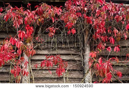 Red leaves of decorative vine grapes on a wooden wall with columns. autumn concept. Virginia Creeper in autumn colors.