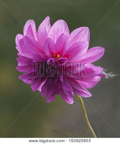 Dahlia (Latin Dáhlia.) - A genus of plants of the family Asteraceae, or Compositae.