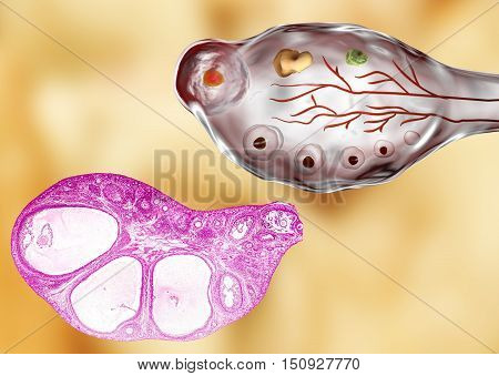 Transverse section of an ovary showing primordial, primary and secondary follicules. Light microscopy, hematoxylin and eosin stain, magnification 200x and 3D illustration