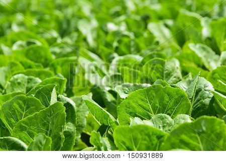 Hydroponic vegetables growing in greenhouse , Clean food Eating , Clean food Eating background