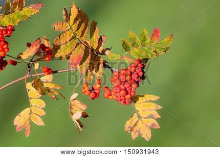 rowan branch with red berries in the foreground