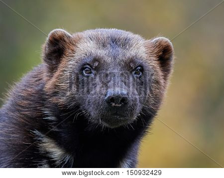 Closeup portrait of the Wolverine (Gulo gulo) with vegetation in the background