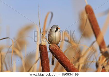 autumn landscape with interesting bird, bearded reedling Panurus biarmicus