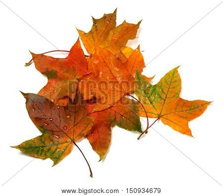 Wet Autumn Multicolor Maple-leafs With Water Drops