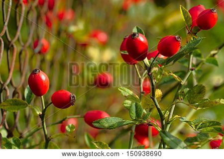 Ripe rosehips at the rusty fence autumn